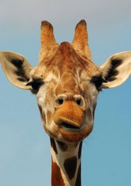 giraffes face front view with light blue background