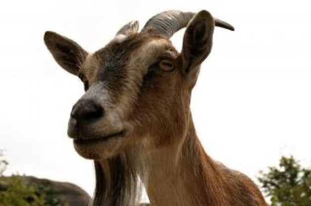 goat closeup hair with white sky background