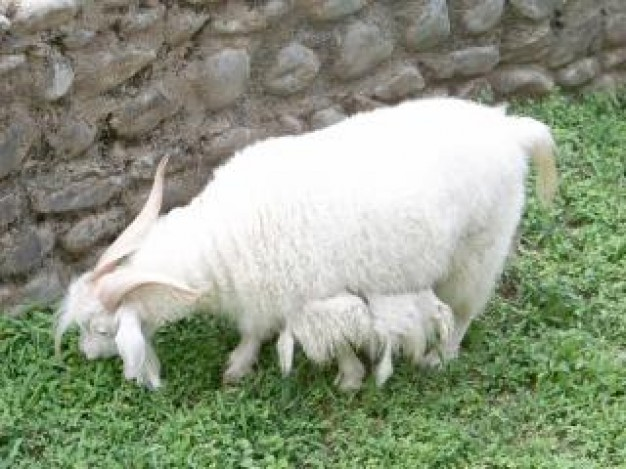 goat pet eating grass at grass of wall corner