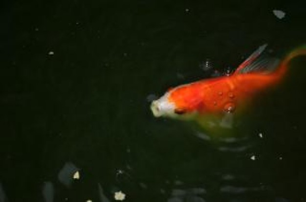 gold fish in a pond swimming out water
