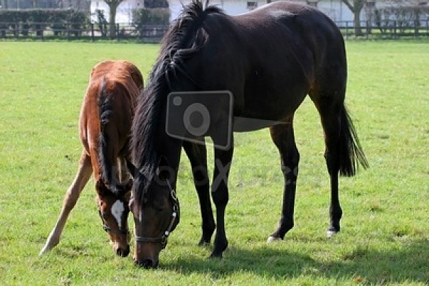 green brown horses eating the grass in farm