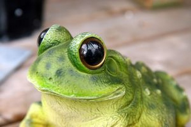 green frog with big eyes