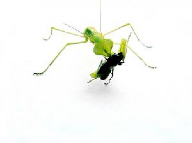 green mantis fighting with ant