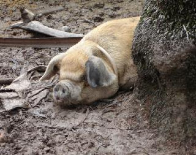 happy as a pig sleeping at earth floor