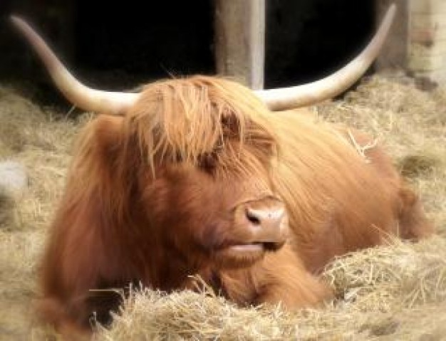 Highland cattle highland Cattle cow farm animal about resting animal