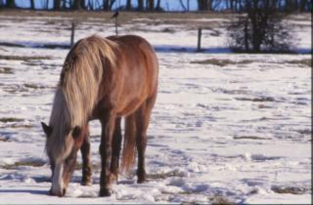 horse stallion eating in snow field