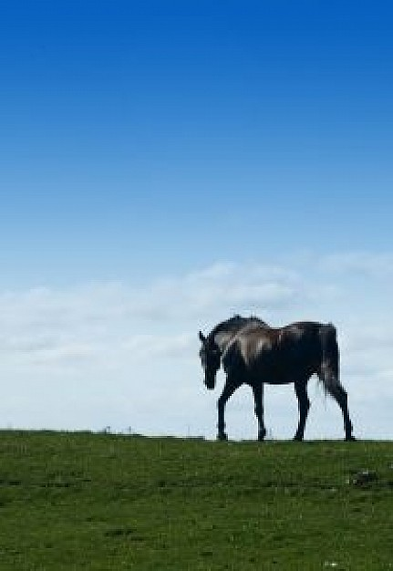 horse walking at skyline with blue sky and green grassland