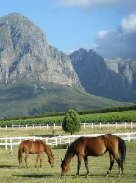 horses eating grass in the field with mountain background