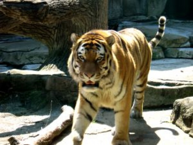 India Tiger about zoo animal under sunlight