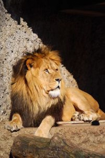 king of the world lion resting under sunlight