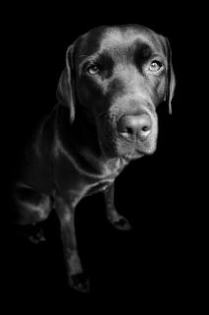 labrador retriever dog looking at you in dark background