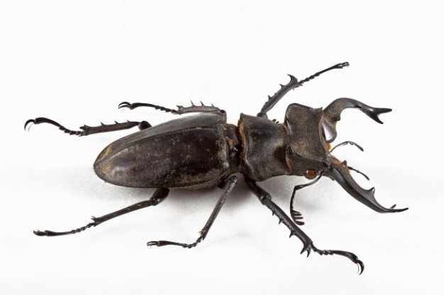 lucanus formosanus beetle in top view