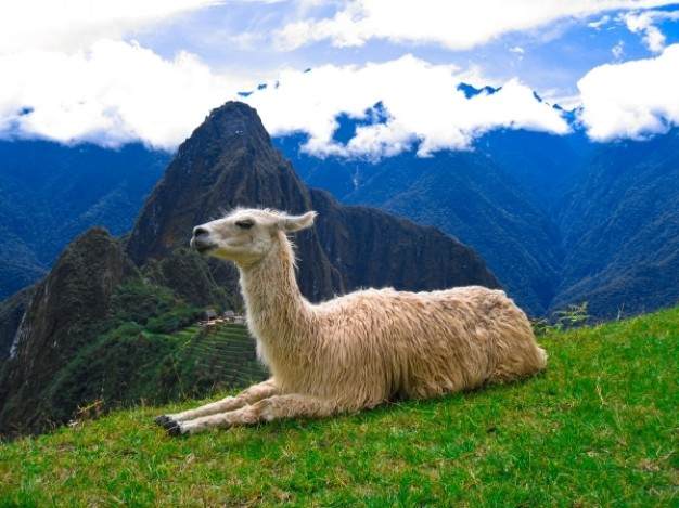 machu picchu llama lying at top of mountain grassland