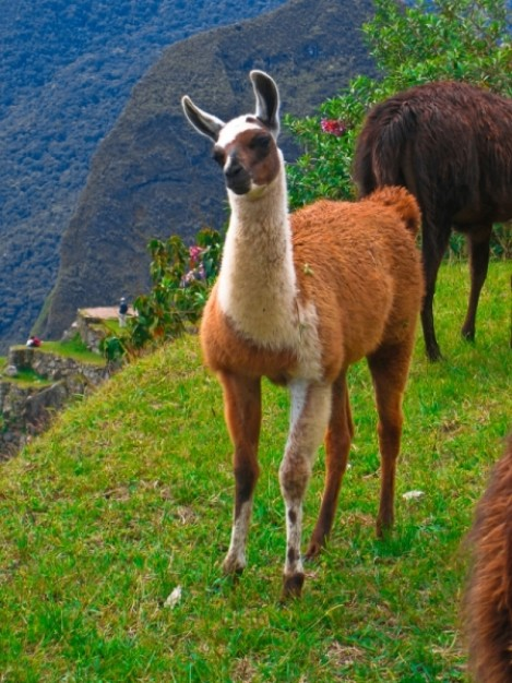 machu picchu llama sitting at grass of mountain in sprint