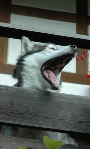 maloup the husky dog roaring with house at back