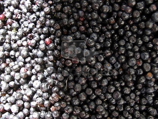 many red-and-black blueberries