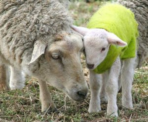 mother love sheep that Lamb with green clothes