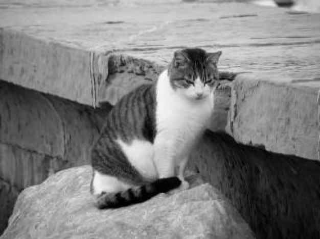 mujesan cat with white bottom sitting on stone