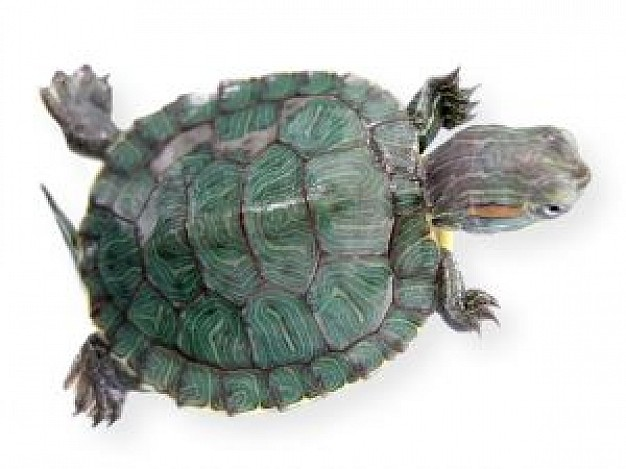 my nieces turtle top view with green shell