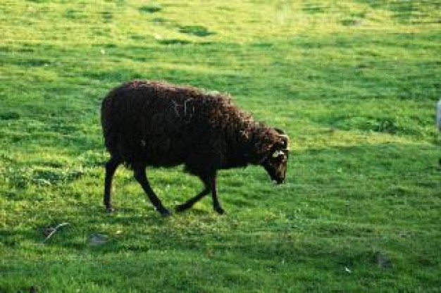 one sheep walking and eating grass at grassland domestic