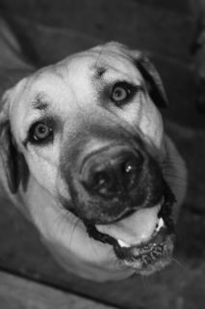 orion dog looking up you in black and white