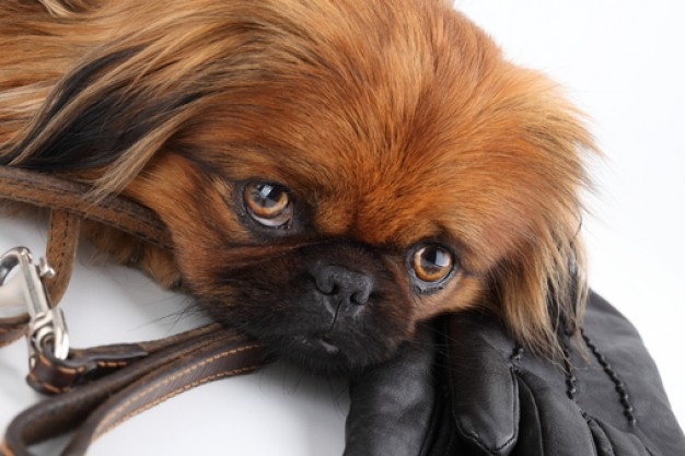 pekinese dog feature groveling on glove