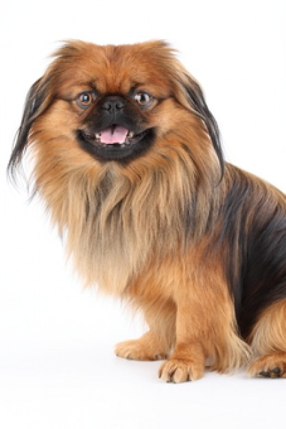 pets canine dog pekingese in front view