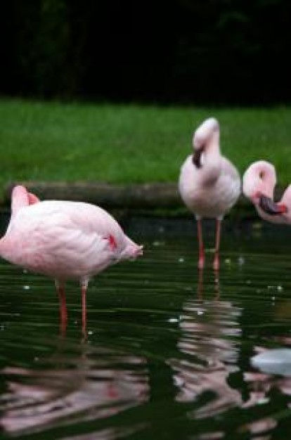 pink flamengos resting in lake with grassland at back