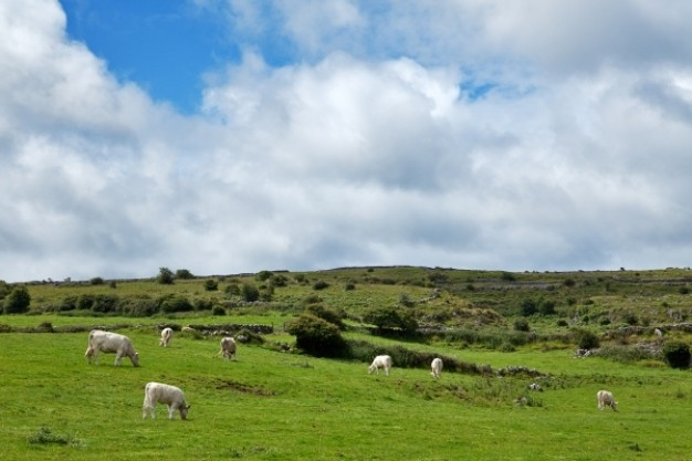 poulnabrone pasture landscape with green grassland and sheep