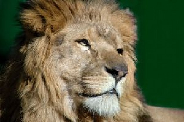 powerful lion head with green background