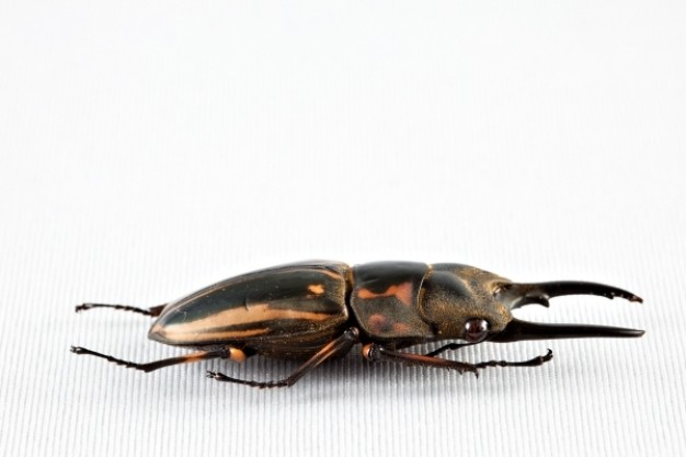 prosopocoilus zebra beetle with metal color