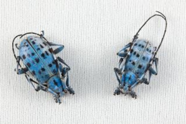 pseudomyagrus waterhousei beetles with blue back