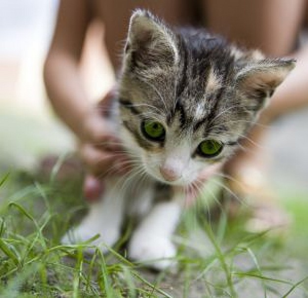 pussy cat kitty looking at grass with hand at back