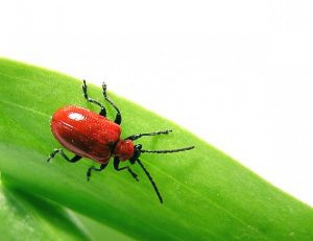 red bug crawling over green leaf