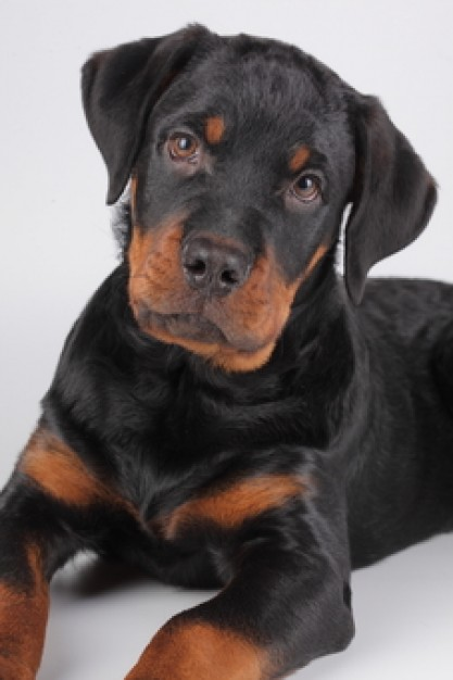 rottweilers puppy looking at you