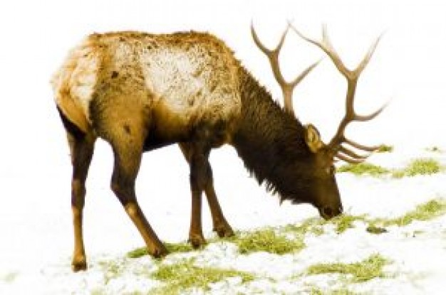 rudolf reindeer eating the grass in back view