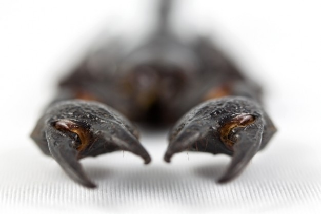 scorpion claws with clamps in focus view