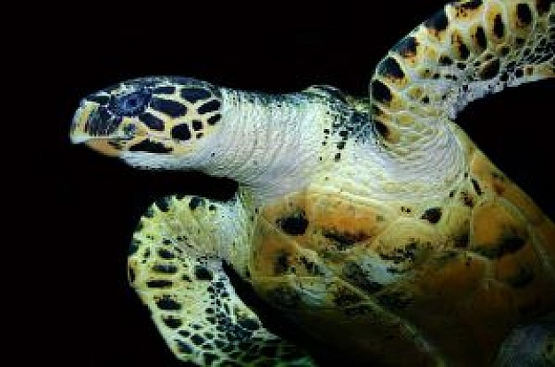 sea turtle swimming in bottom view over dark background