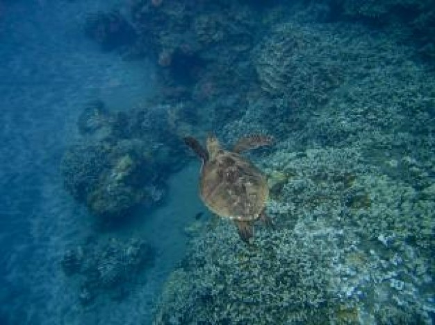 sea turtle swimming over sea bottom