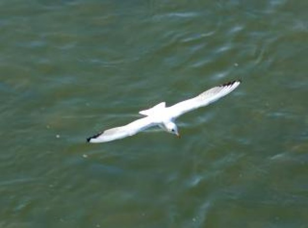 seagull bird flying over water surface