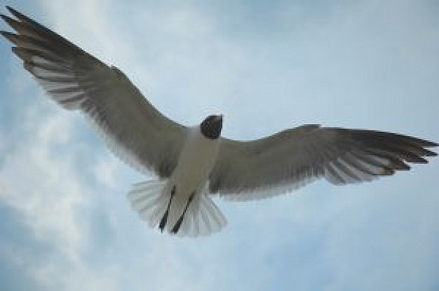 seagull in bottom view with clouds and sky background