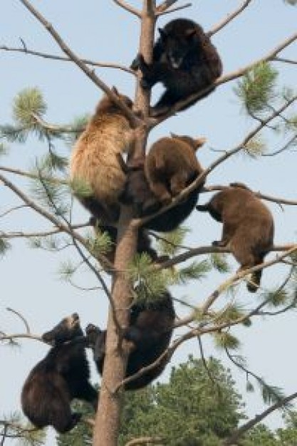 Spain bear Bob Costas country climbing tree about forest tree and animal