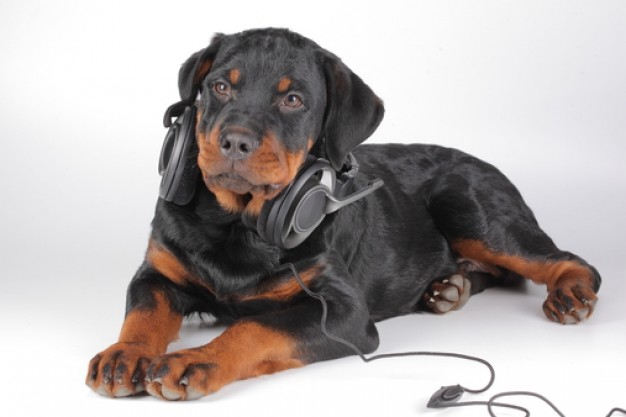 stylish snout canine rottweiler with Headphone