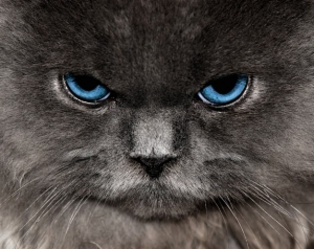 the cat front view with malicious light blue eyes
