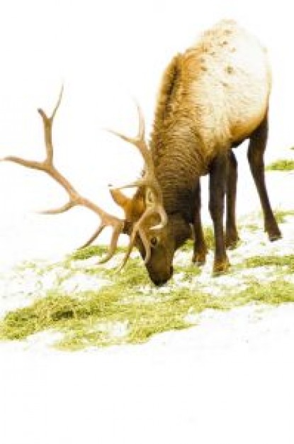 the red nosed reindeer crouching and eating grass