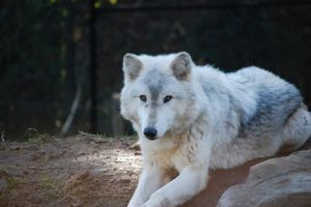 the white wolf lying on rock in Contrast forest