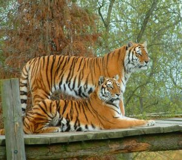 tigers resting on stage with trees background