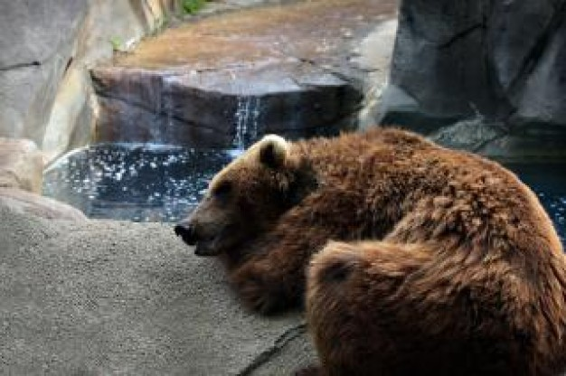 tired bear sleeping on stone nearby water