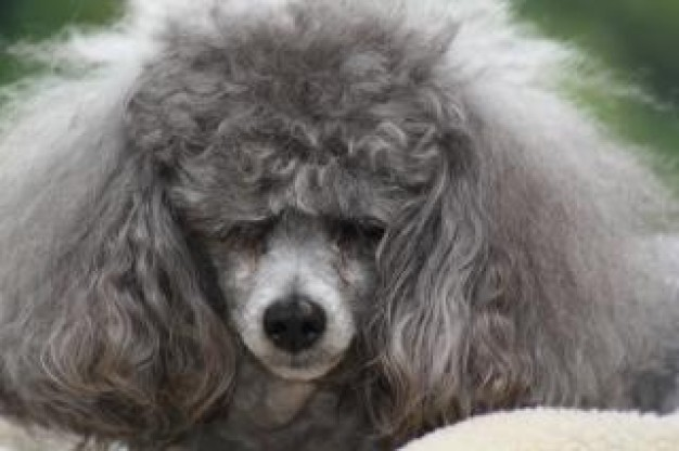 toy poodle front view with bad hair