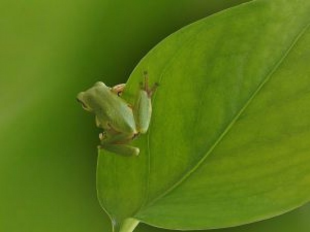 tree frog stopping on green leaf